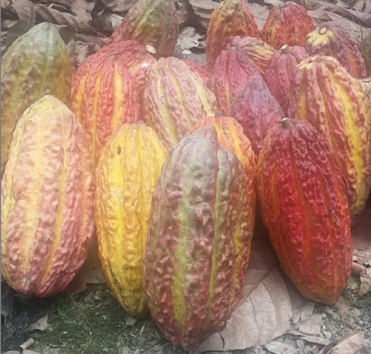 cacao pods camino verde