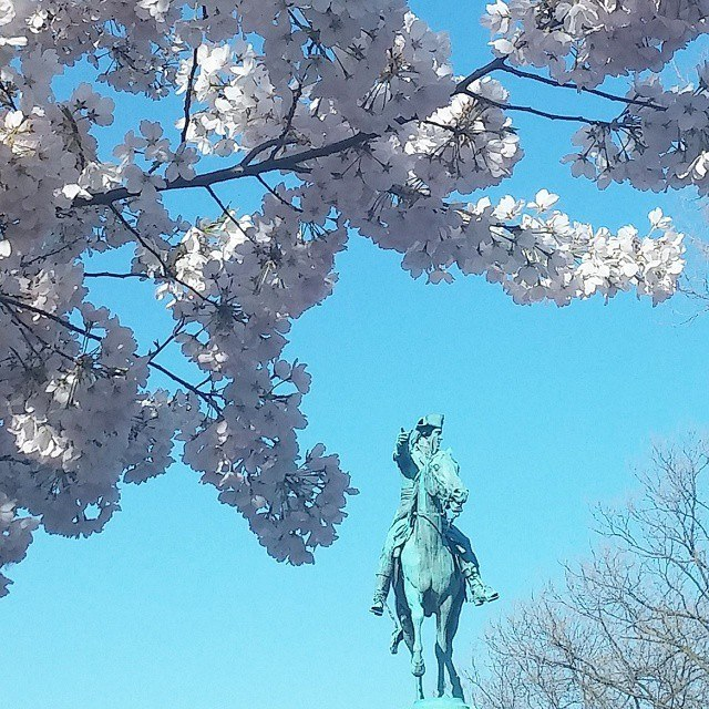 Cherry blossoms in Stanton Park